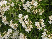 Mexican Orange Blossom - Choisya  'Aztec Pearl'