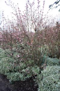 Plant image for Viburnum - Viburnum × bodnantense  'Dawn'